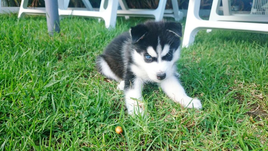 Husky Eyes Beauty Animals Pets Outdoors Happiness Blue Eye Brown Eye One Animal Cute Grass Natural Beauty Nature