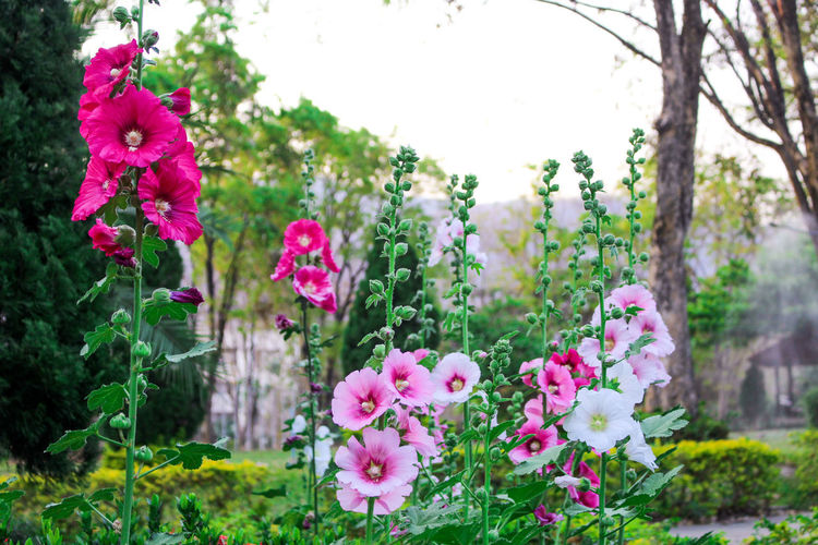 Close-up of pink flowering plants in garden