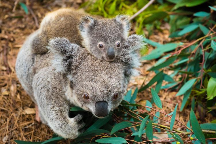 Mother koala bear with baby on the back Animal Themes Animal Wildlife Animals In The Wild Bear Close-up Day Koala Koala, Baby Mammal Nature No People One Animal Outdoors First Eyeem Photo