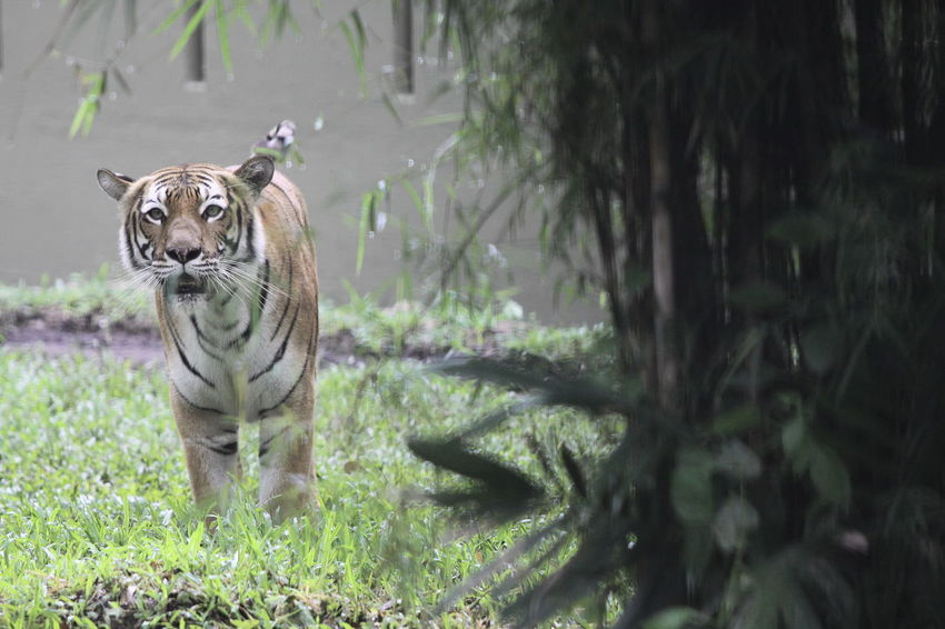 50+ Sumatran Tiger Pictures HD | Download Authentic Images