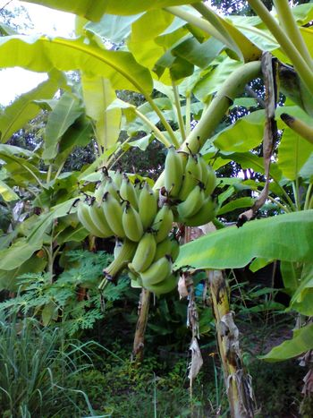 Banana Food Food And Drink Fruit Outdoors Banana Tree Green Color กล้วยน้ำว้า