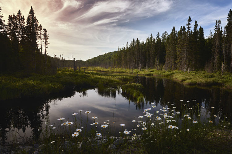 The swamp Calm Nature Quebec Reflection Canada Cloud - Sky Flower Forest Landscape No People Outdoor Sun Water