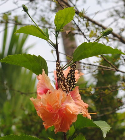 Animal Themes Animals Beauty In Nature Blooming Butterfly Butterfly - Insect Close-up Day Flower Flower Head Fragility Freshness Growth Hibiscus Flower Insect Insects  Leaf Nature Nature No People Outdoors Petal Pink Color Plant