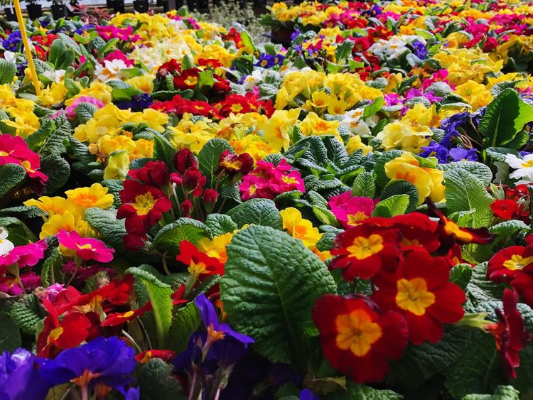 Flower Freshness Growth Beauty In Nature Nature Fragility Multi Colored Petal Plant Flower Head Vibrant Color Day No People Leaf Blooming Outdoors Flowerbed Close-up