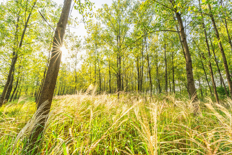 In woods Plant Tree Land Forest Tranquility Trunk Nature Sunlight Day Landscape WoodLand Lens Flare Environment Bright Grass