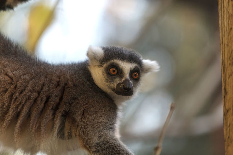 Lemur looking away against blurred background