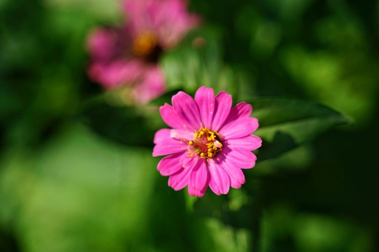 Pink Flower No People No Person Day Flower Head Zinnia  Flower Pink Color Cosmos Flower Petal Close-up Plant Peony  Flowering Plant Blossom Eastern Purple Coneflower Pollen In Bloom Blooming Plant Life Coneflower