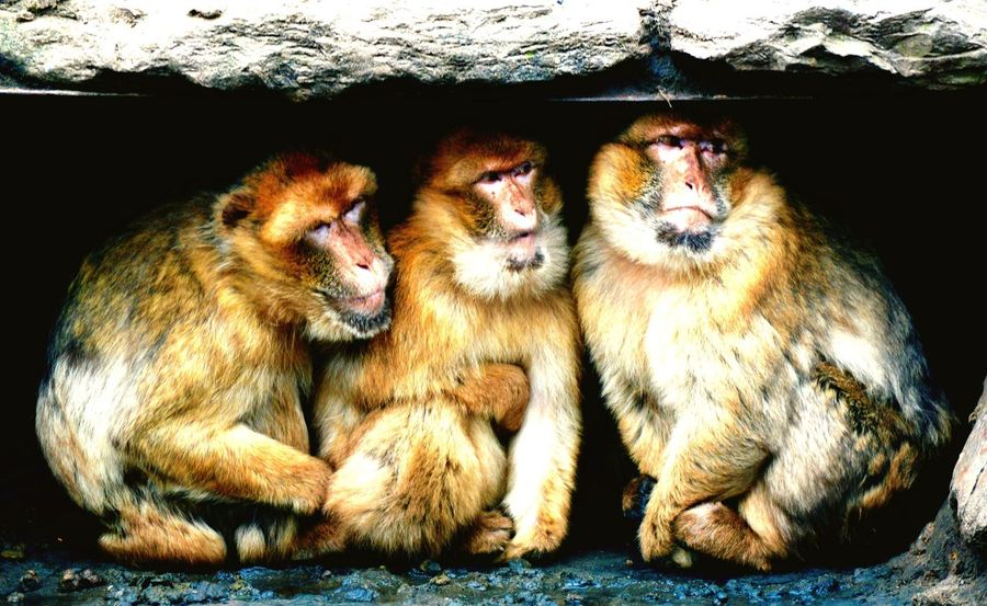 Three wise men Mammal Animal Themes Togetherness Monkey Close-up Outdoors