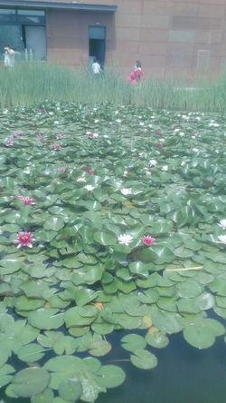Flower Water Flower Head Leaf Petal Plant Lily Pad Water Lily Lotus Water Lily Water Plant Floating On Water