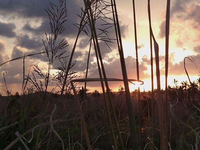 Silhouette of stalks in field against sunset sky