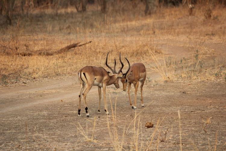 Antelopes on land