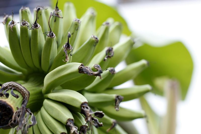 Banana Banana Tree Beauty In Nature Close-up Day Food Food And Drink Freshness Fruit Green Banana  Green Bananas Green Color Growth Nature No People Outdoors Plant