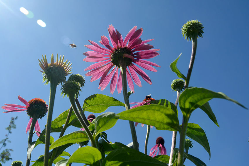Echinacea purpurea Beauty In Nature Bee Blooming Bluesky Clear Sky Day Echinacea Purpurea Flower Flower Head Fragility Growth Low Angle View Medicinal Plant Nature No People Outdoors Petal Pink Color Pollination Sky Summer Summertime