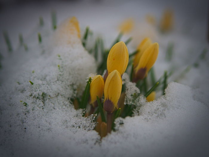 Beauty In Nature Close-up Cold Temperature Crocus Crocuses Flower Freshness Growth Hidden In The Snow Munich Architecture Nature No People Outdoors Plant Snow Snowing Winter Winter Wonderland Yellow