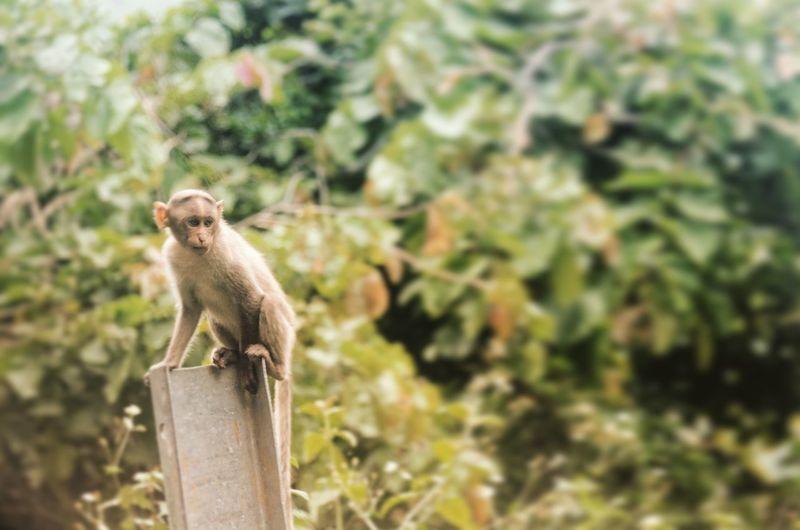 Close-Up Of Monkey On Fence Post