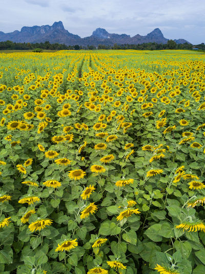 aerial view of bright yellow sunflower at wat khao jeen lae, Lopburi, Thailand Yellow Lop Buri Flower Beauty In Nature Flowering Plant Growth Field Plant Landscape Freshness Fragility Vulnerability  Environment Nature Scenics - Nature Abundance Tranquility Agriculture Flower Head Flowerbed Outdoors Springtime Thailand Sunflower Sunflowers🌻 Mountain Range