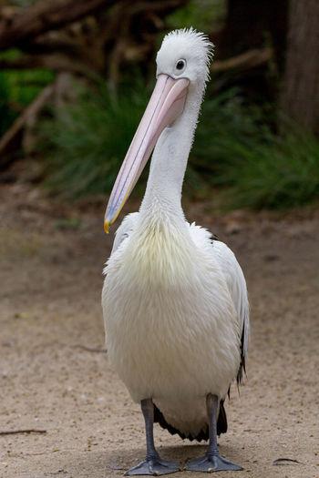 Close-up of pelican