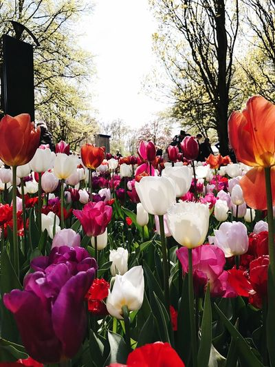 Be. Ready. Spring Lisse, The Netherlands Tulpen Tulips Plant Beauty In Nature Flower Flower Head Freshness Tulip Day Park - Man Made Space Outdoors Springtime No People Tree Nature Fragility Petal Growth Blooming