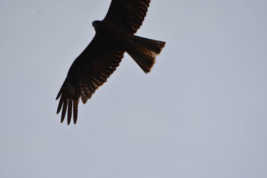 Flying Animals In The Wild Bird Vertebrate One Animal Animal Themes Spread Wings
