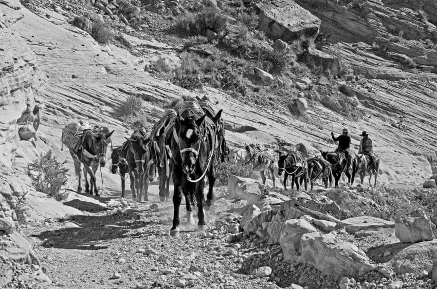 The pack horses making a run up from the Supai village in the Grand Canyon. Grand Canyon, Havasu Havasupai Horseback Riding Hikingadventures
