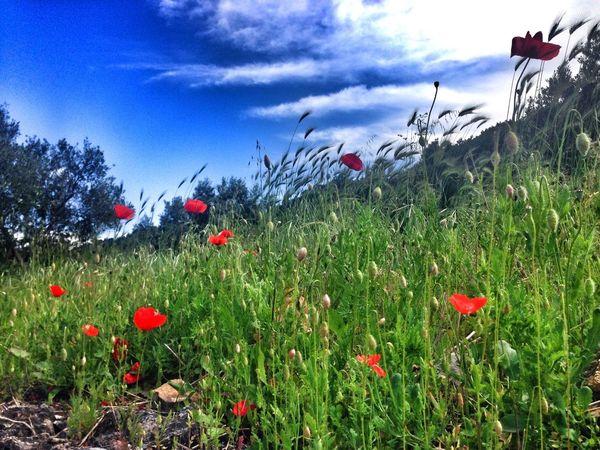 Poppies  Field Flowers