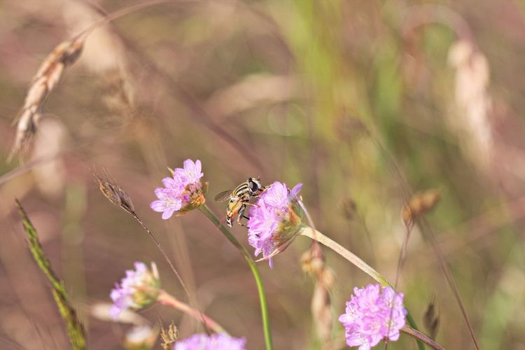 Pollen Purple Animal Wing Pollination Bee Close-up Flower Head Animal Wildlife Freshness Petal Animals In The Wild Beauty In Nature Animal One Animal Vulnerability  Fragility Flower Animal Themes Insect Animal Photography Insect Photography Insect Paparazzi Nature_collection Nature Photography Naturelovers Lovely Beautiful Nature Beautiful Cute Meadow Meadow Flowers Fieldscape Field Beauty In Ordinary Things Scenics - Nature EyeEm Nature Lover EyeEm Gallery Eye4photography  Walking Around Taking Pictures Bokeh Flowers, Nature And Beauty Flower Collection Flower Photography