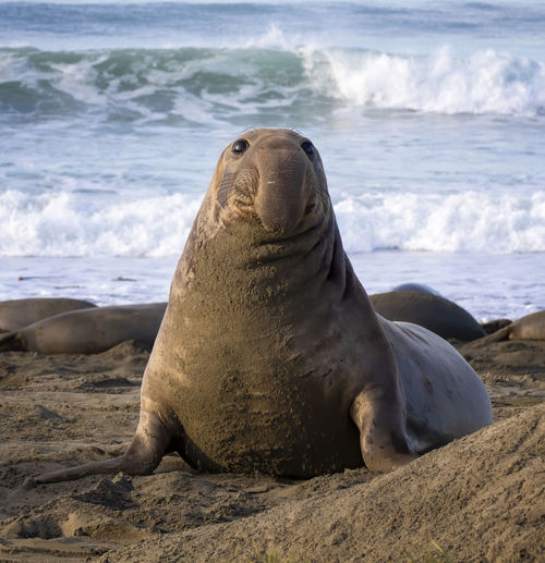 Sea lion relaxing on beach