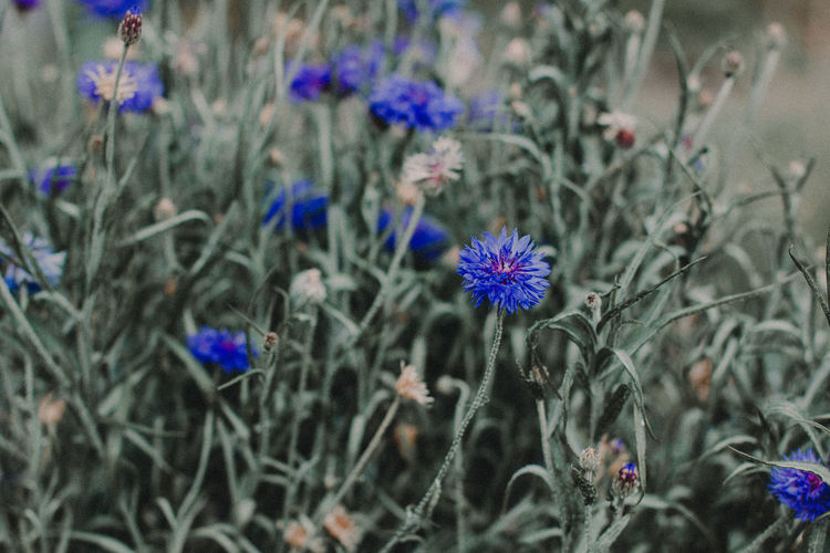 Beauty In Nature Blooming Blue Flower Blue Flowers Blue Flowers Green Leaves Day Flower Fragility Freshness Growth Nature No People Outdoors Plant