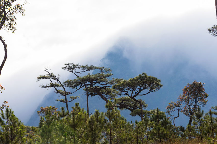 The mountain is covered with fog Cloud Field Pine Tree Beauty In Nature Branch Day Fog Forest Growth Landscape Meadow Mist Mountain Nature No People Outdoors Scenics Sky Tranquil Scene Tranquility Tree