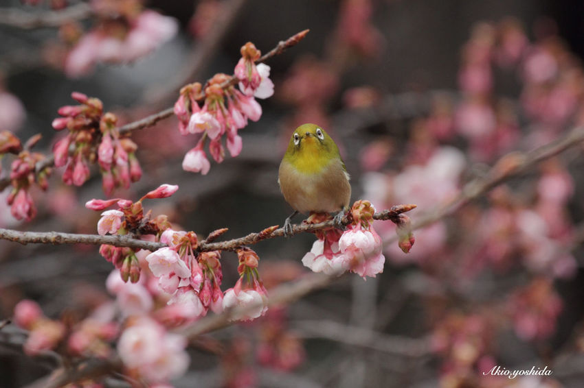 Did you call me?🐦 White‐eye Bird Bird Photography Cherry Blossoms Flowers Flower Collection Springtime Spring Spring Flowers Nature_collection Nature Nature Photography EyeEm Nature Lover Popular Photos Taking Photos Tadaa Community EyeEm Best Shots EyeEm Best Shots - My Best Shot