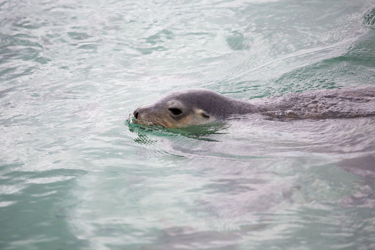 High Angle View Of Sea Lion In Swimming Pool