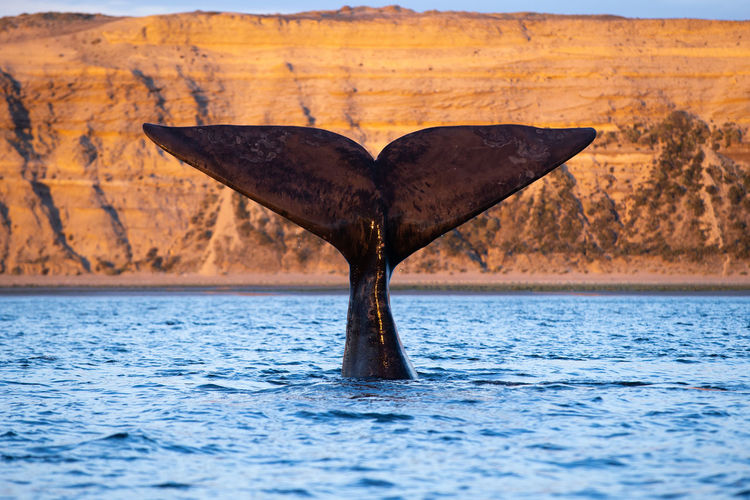 Whale swimming in sea against mountain
