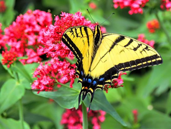 Eastern Tiger Swallowtail Butterfly Close up detailed in the garden Eastern Tiger Swallowtail Swallowtail Animal Animal Wing Animals In The Wild Beauty In Nature Butterfly - Insect Close-up Flower Flowering Plant Fragility Freshness Insect Invertebrate Lantana One Animal Outdoors Petal Plant Pollen Pollination Tiger Swallowtail Vulnerability  Western Swallowtail