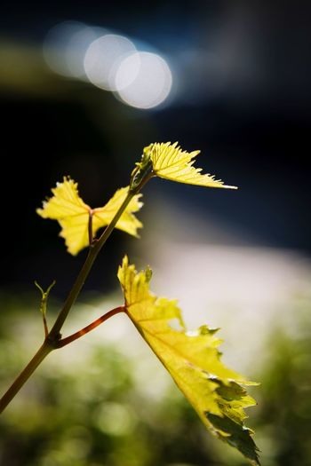Nature Leaf Plant Part Focus On Foreground Close-up Plant Nature Growth Change Yellow Autumn Day Plant Stem Sunlight Beauty In Nature