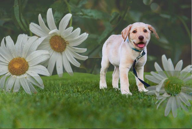 Puppy Yellow Labrador Daisy 🌼 Cute Pets Playful Pups