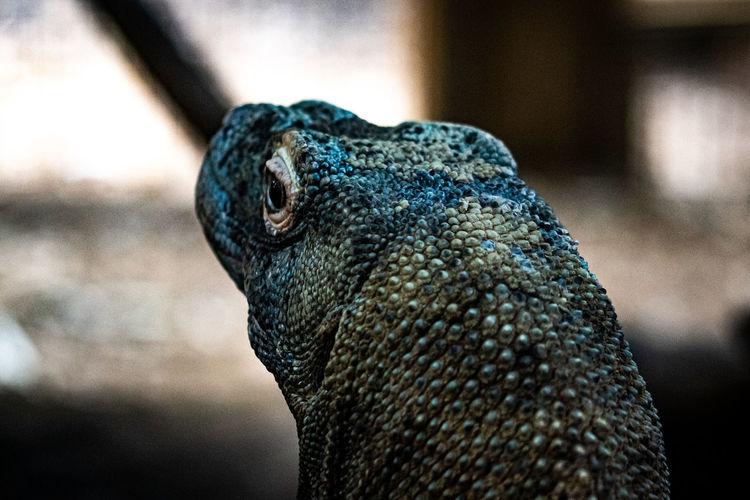 Close-up shot of a komodo dragon taken in zsl london zoo