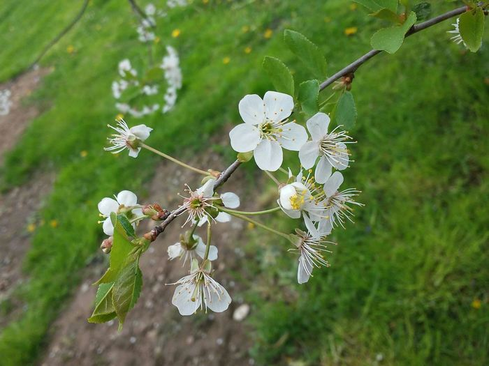 Flower Flowers 🌸🌷🌹🌺🌼 Flowers Spring Spring Flowers Spring2015 Tree Poland Poland Flora