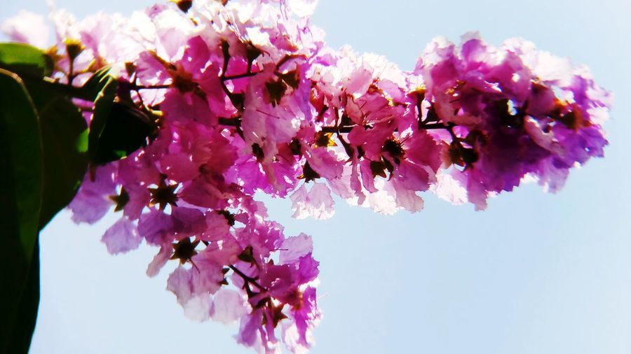 Tree Flower Flower Head Branch Lilac Pink Color Springtime Purple Blossom Petal In Bloom Plant Life Blooming