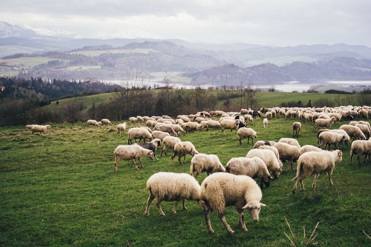 Beauty In Nature Domestic Animals Field Flock Of Sheep Grass Grazing Landscape Livestock Mammal Mountain Nature Outdoors Rural Scene Scenics Sheep Tranquility