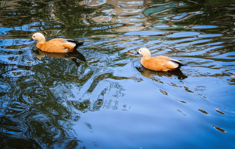 Animal Themes Animal Wildlife Animals In The Wild Beauty In Nature Bird Day Duck Lake Mandarin Duck Nature No People Outdoors Swimming Togetherness Water Water Bird Waterfront