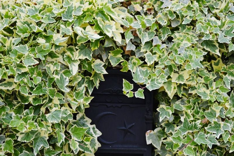 Vine growing on exterior wall