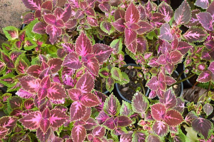 Beautiful Coleus Coleus Atropurpurrus Flame Nettle Freshness Green Pink Beauty In Nature Close-up Day Flower Flower Head Foliage Fragility Fresh Freshness Full Frame Garden Growth Houseplant Labiatae Leaf Leaves Nature No People Outdoors Painted Nettle Plant