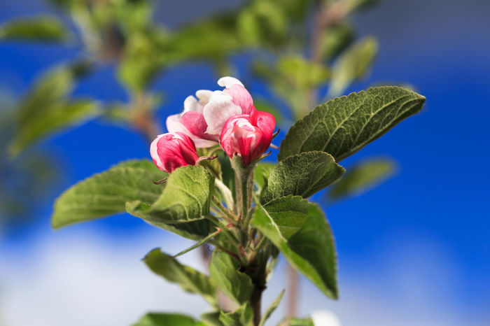 Apple Blossom Apple Tree Beauty In Nature Blooming Blue Close-up Day Flower Flower Head Fragility Freshness Green Color Growth Leaf Nature No People Outdoors Petal Plant Red