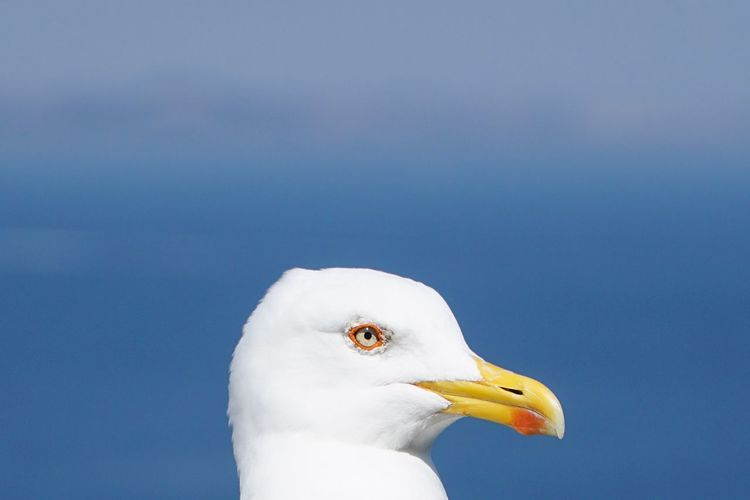 Close-up of seagull against clear blue sky