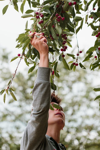 Young man picking cherry berries from tree. Boy is working in the garden. He is picking ripe cherries from tree Cherry Berry Pick Picking Harvest Harvesting Crop  Fruit Food Organic Farm Garden Fresh Healthy Lifestyles Nature Tree Leaves Real People Summer Summertime Hand Man Boy