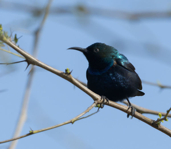 Bird Animal Themes Perching Animal One Animal Animal Wildlife Vertebrate Animals In The Wild No People Branch Plant Day Nature Low Angle View Tree Black Color Focus On Foreground Close-up Blue Beauty In Nature Outdoors Beak Stick - Plant Part