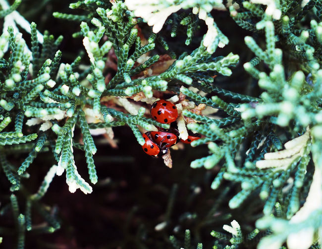 Plant Close-up Selective Focus No People Day Growth Tree Nature Red Beauty In Nature Berry Fruit Insect Focus On Foreground Animals In The Wild Outdoors Fruit Branch Animal Wildlife Green Color Invertebrate Ladybirds #spring #norfolk