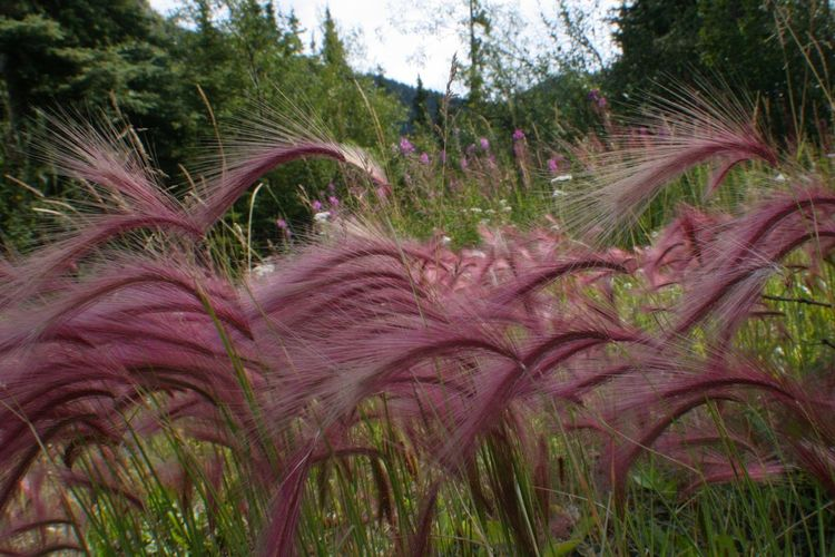 Flowing Pink Grasses Yukon Canada Nature Wildflowers Pink Grass  Purple Grass Windy Day Blowing In The Wind  Blowing In The Wind...