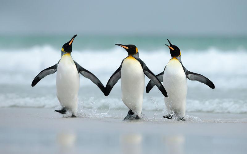 Penguins walking at beach