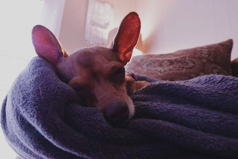 Be. Ready. Pets Dog Indoors  One Animal Close-up Sleeping Big Ears Home Interior